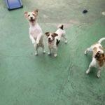 Jack Russell terrier 11 150x150 Jack Russell Terrier
