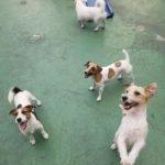 Jack Russell terrier 13 150x150 Jack Russell Terrier