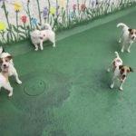 Jack Russell terrier 26 150x150 Jack Russell Terrier