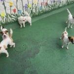 Jack Russell terrier 27 150x150 Jack Russell Terrier