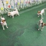 Jack Russell terrier 28 150x150 Jack Russell Terrier