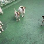 Jack Russell terrier 37 150x150 Jack Russell Terrier