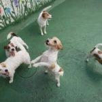 Jack Russell terrier 39 150x150 Jack Russell Terrier