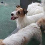Jack Russell terrier 45 150x150 Jack Russell Terrier