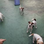 Jack Russell terrier 6 150x150 Jack Russell Terrier