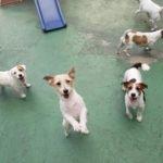 Jack Russell terrier 9 150x150 Jack Russell Terrier